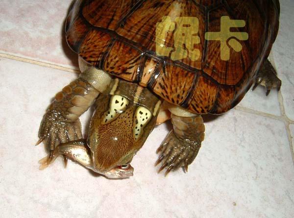 福建本土野生龟类图片集