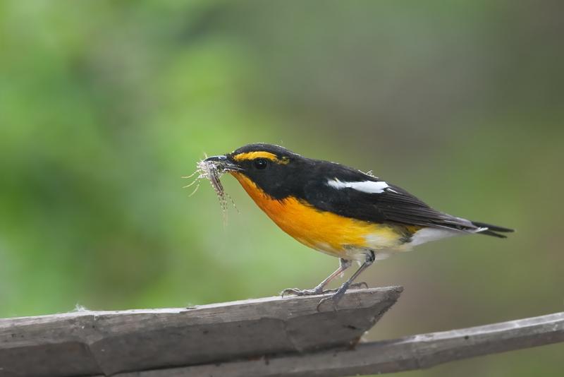 最近拍的迁徙鸟 厦门观鸟会