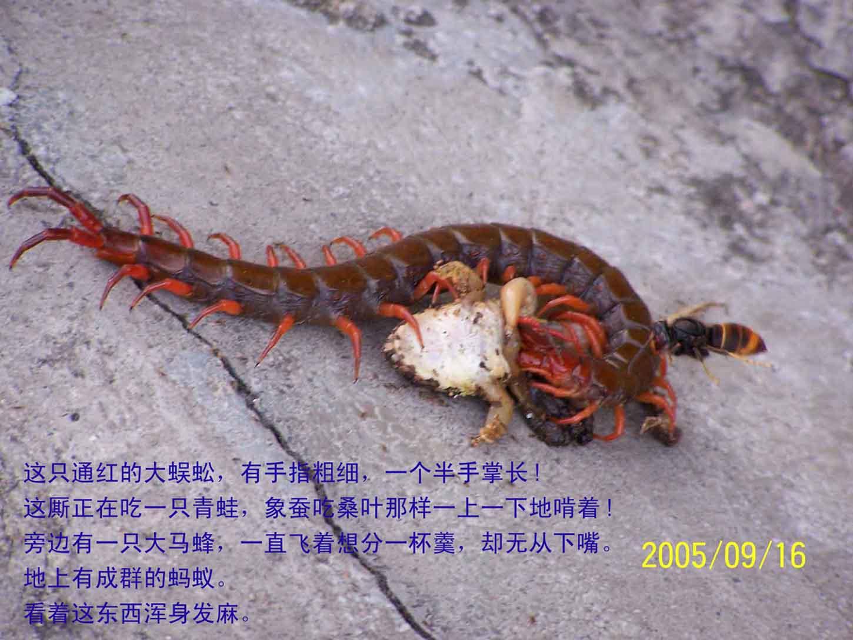 转贴:大蜈蚣吃青蛙