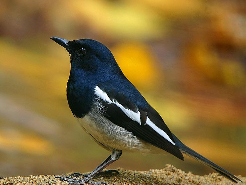 厦门常见鸟类100种图片.第一辑